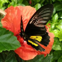 Тропическая бабочка :: Эля Юрасова