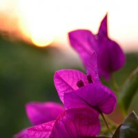 Bougainvillea flowers. :: Valentina Severinova