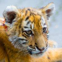 Амурский тигр :: Atuan M