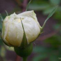 Бутон белой розы :: Виктория Стукалина