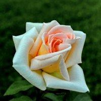 Наша первая роза. :: Пётр Сесекин