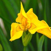 Один из любимых цветов :: Вероника Любимова