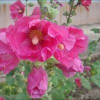 Розовое марево июля :: Нина Корешкова