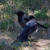 Ворона с воронёнком. :: Raisa Ivanova