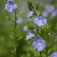 Голубые цветы :: Zifa Dimitrieva