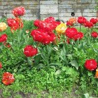 Махровые тюльпаны. :: Валентина Жукова