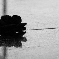 Черная роза :: Vera Vatutina