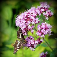 Бабочка на душице :: Андрей Заломленков