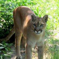 Пума в ростовском зоопарке :: Нина Бутко