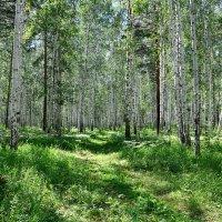 Лес в июле. :: Елена Laskova