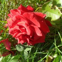 Упала роза на траву... :: Наталья