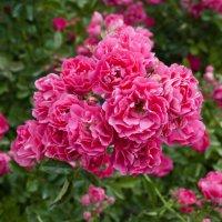 Цветы, розы :: Светлана Малкина