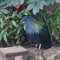 Гривистый голубь :: Natalia Harries