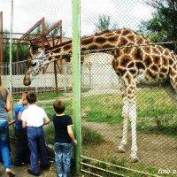 В гостях у жирафа :: Нина Бутко