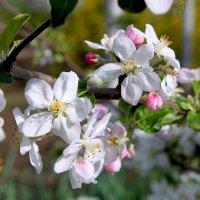 Яблоневый цвет :: Алла ZALLA
