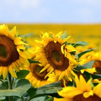 Знойное лето... :: Nina Streapan