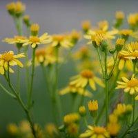Желтые ромашки :: олег фотограф-любитель