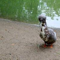интересная утка.. :: Катя Медведева