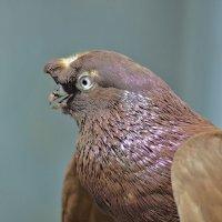 Портрет молодого голубя :: galina tihonova