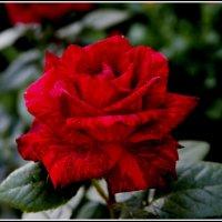 цветы :: Анатолий Мартынюк