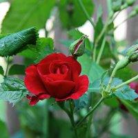 Что шепчут розы по утру ? :: Маргарита ( Марта ) Дрожжина