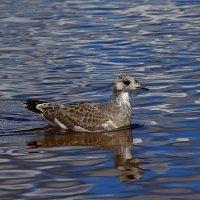 Птенец чайки серебристой. :: Galina S*