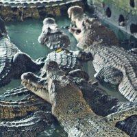 Крокодилы :: Татьяна Воробьева