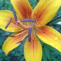 утренняя роса на цветах :: Nastja Evstigneeva