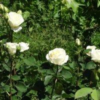 Куст белых роз в июне... :: Тамара (st.tamara)