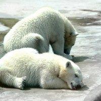 Полярные медвежата :: Сергей Маршалков