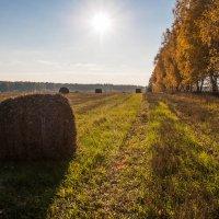Золотое осеннее поле :: Светлана Шишова