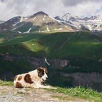 кавказская овчарка на фоне грузинских гор. :: Евгений Кожухов
