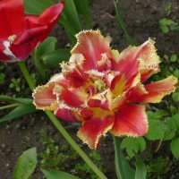 Тюльпан бахромчатый :: Вера Щукина