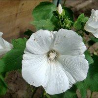 Белая лаватера - редкость в нашем дворе :: Нина Корешкова