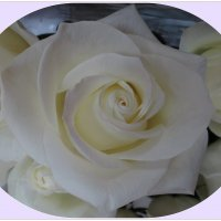 Белая роза :: Вера