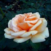 роза :: Ирина
