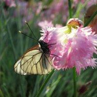 Про бабочку и цветок.... :: Валентина Жукова