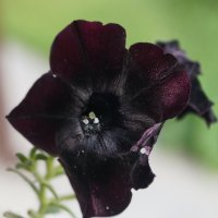 Черная петунья :: Александр Дёмин