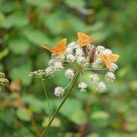 Бабочки :: Марина Мишутина