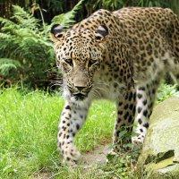 Леопард :: Alexander Andronik