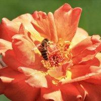 Про пчелу и розу :: Сергей Михайлович