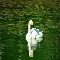 Лебедь :: Tatyana Belova