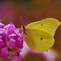 Про жёлтую бабочку :: galina tihonova