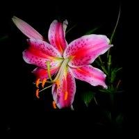 любимая  лилия.. :: неля  тулузова
