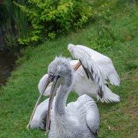 Пеликаны в Ижевском зоопарке :: Svetlana Galvez