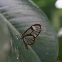 Грета Ото, или Стеклянная бабочка :: Natalia Harries