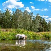 Водопой на реке Белой... :: игорь козельцев