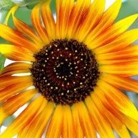 солнечный цветок :: ирэн