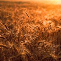 Огненный закат в поле :: Алена Тхорук