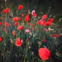 Poppies :: Алексей Бачурский